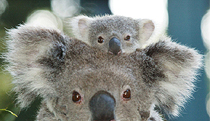 Billabong Koala and Wildlife Park - Foster Accommodation