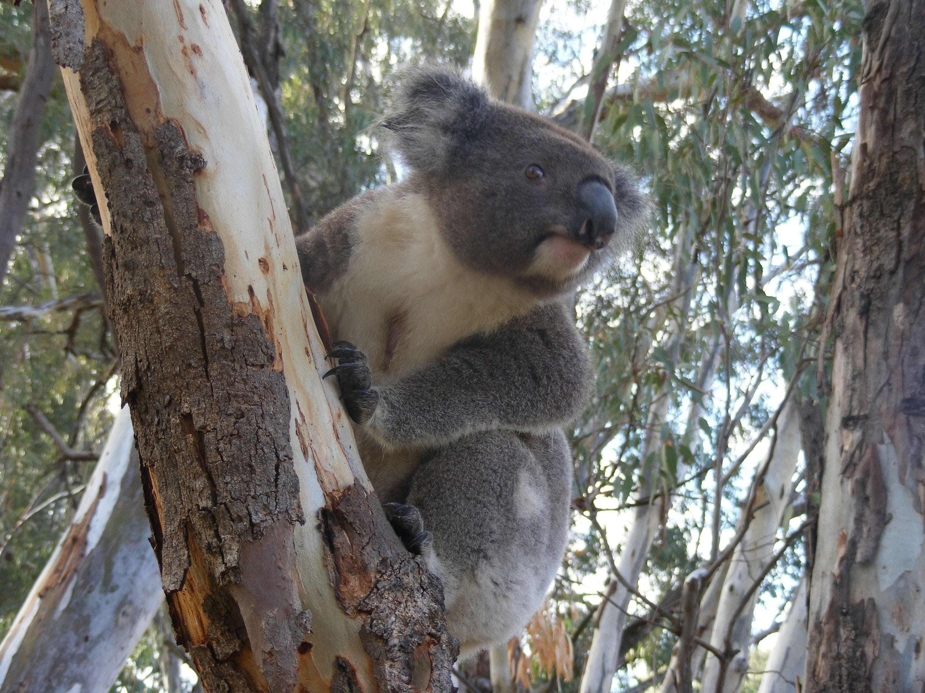 Annual Koala Count - Foster Accommodation