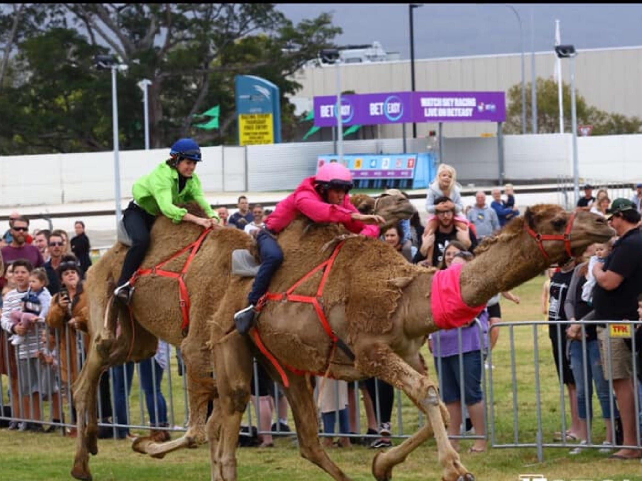 Camel Races at Gosford Showgrounds - Foster Accommodation