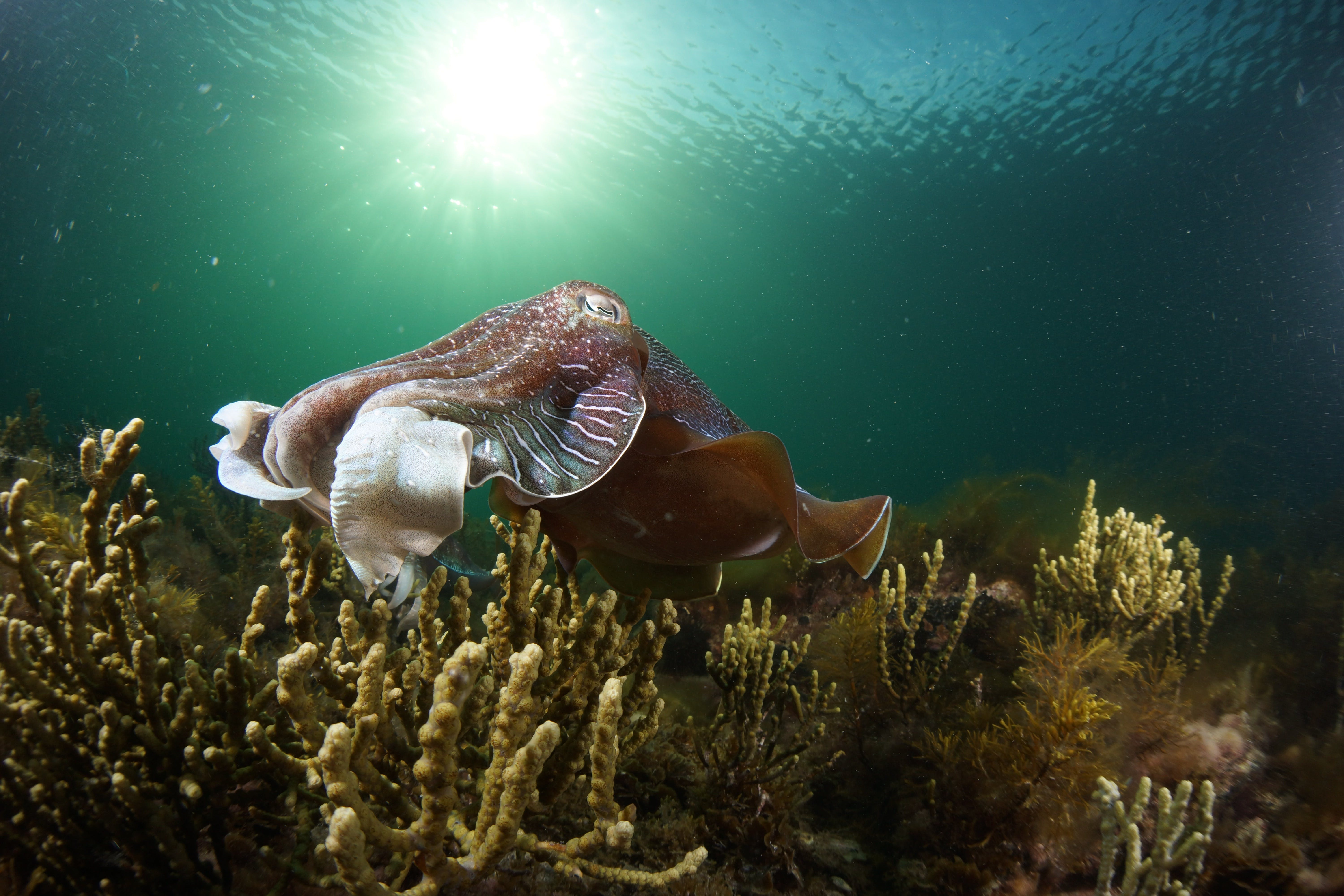 Cuttlefish Diving  Snorkeling EVERYDAY May -August - Foster Accommodation